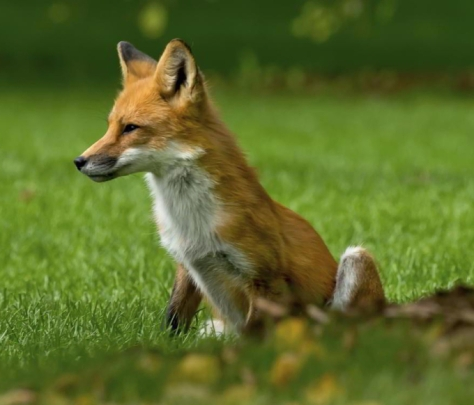 1200-457767401-red-fox-with-green-background-e1547485222753
